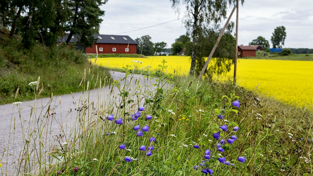 en grusväg ringlar sig mellan rapsfält och skog och en gård syns i bakgrunden. Foto: Christine Olsson/TT