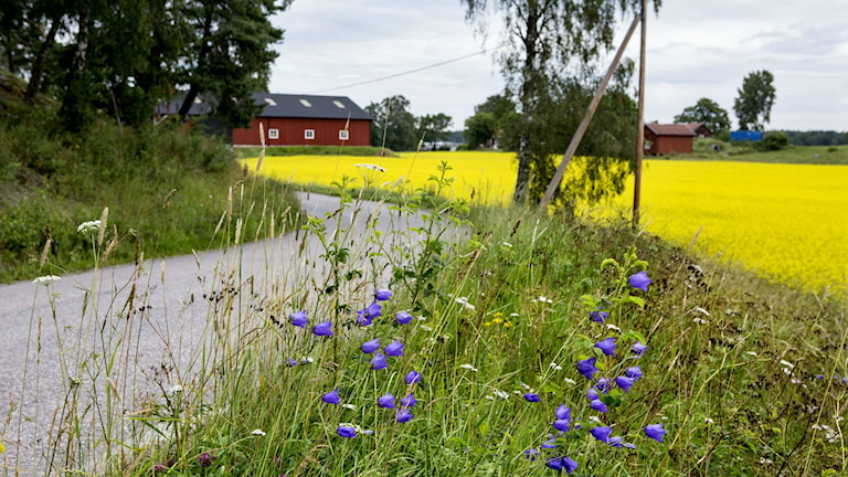en grusväg ringalr sig mellan rapsfält och skog och en gård syns i bakgrunden.
