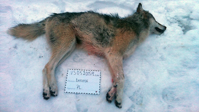 One of the wolves killed in Värmland over the weekend. Photo: Länsstyrelsen.