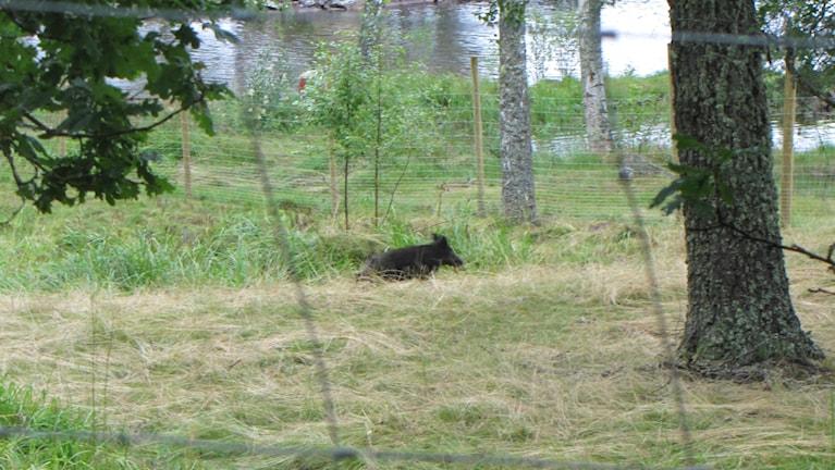 I mörker och skymning kan vildsvinet bli mycket svårt att upptäcka i en dikeskant.