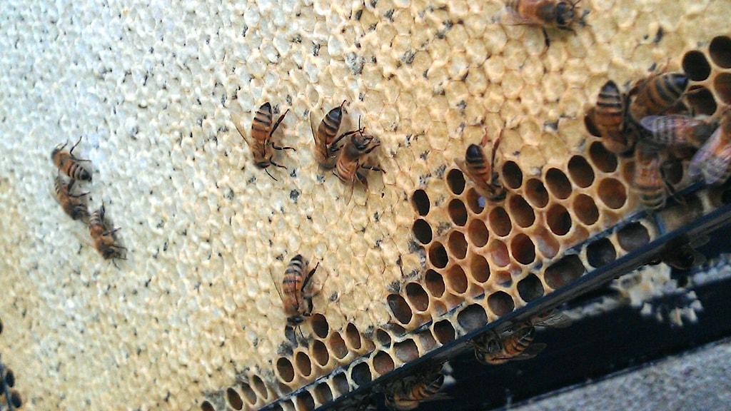 Bin som kryper på celler fyllda med honung.