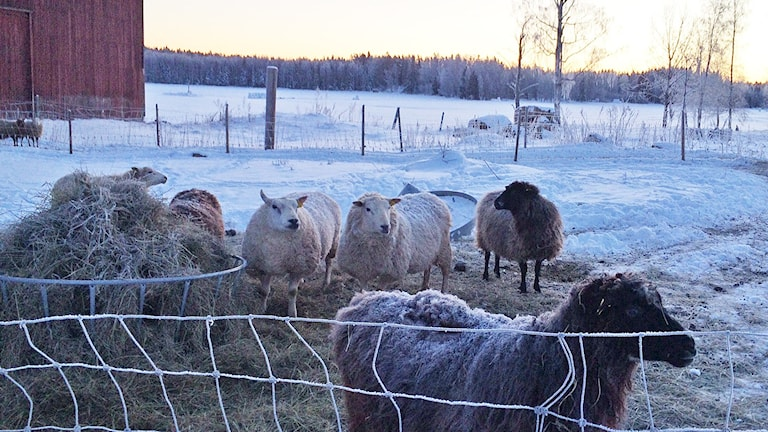 Får vid Jäverö gård. Foto: Jenny Tibblin/Sveriges Radio.