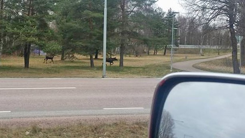 Älgar nära E18 vid Borgmästarbron i Karlstad. Lyssnarbild: Martin Karlsson.