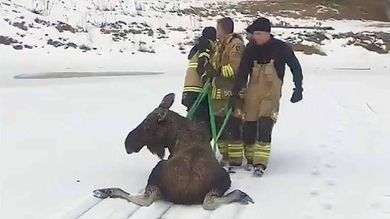 Brandmän släpar en älg på isen. Foto: Christer Brandt/Karlstadsregionens räddningstjänst.