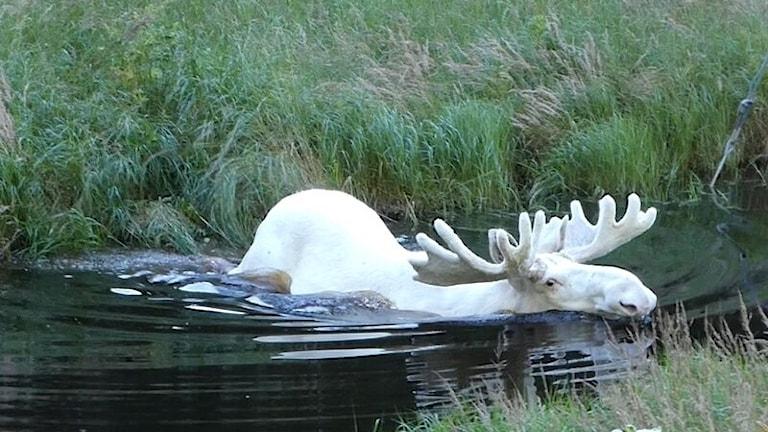 Hans Nilsson i Eda fångade den vita älgtjuren