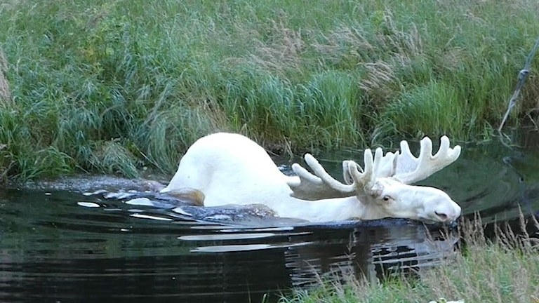 Hans Nilsson i Eda fångade den vita älgtjuren. Foto: Hans Nilsson, Eda.