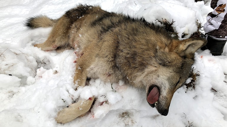 En död varg ligger i snön. Foto: Boo Westlund.