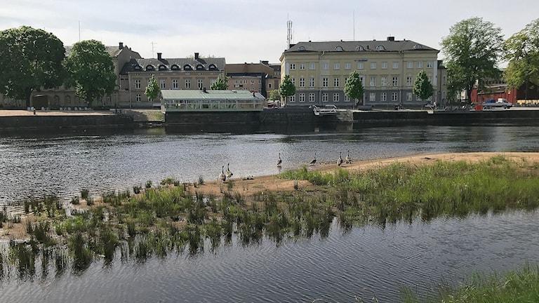 Klarälven i Karlstads centrum med en sandbank med gäss. Foto: Laila Carlsson/Sveriges Radio.