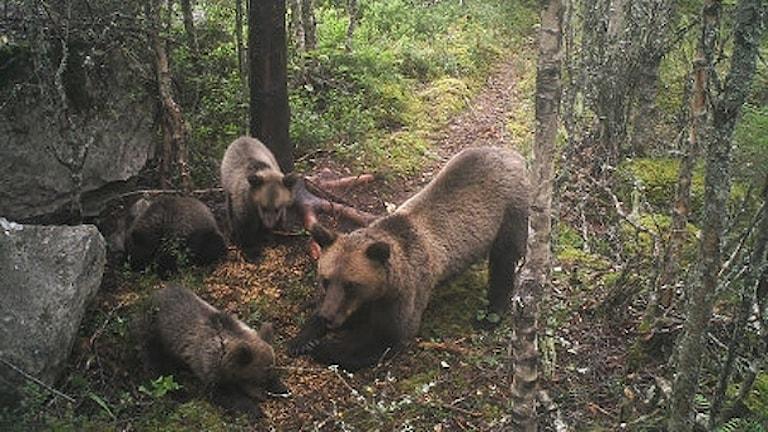 En björnfamilj. Foto: Länsstyrelsen i Värmland.
