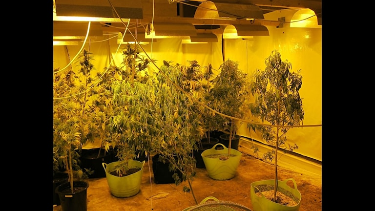 Marijuanaplantor