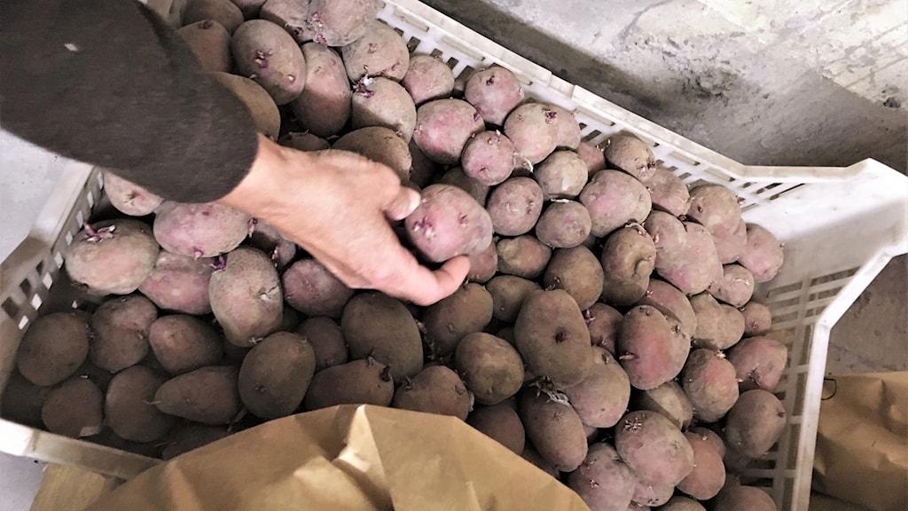 Potatis. Foto: Frida Granström/Sveriges radio