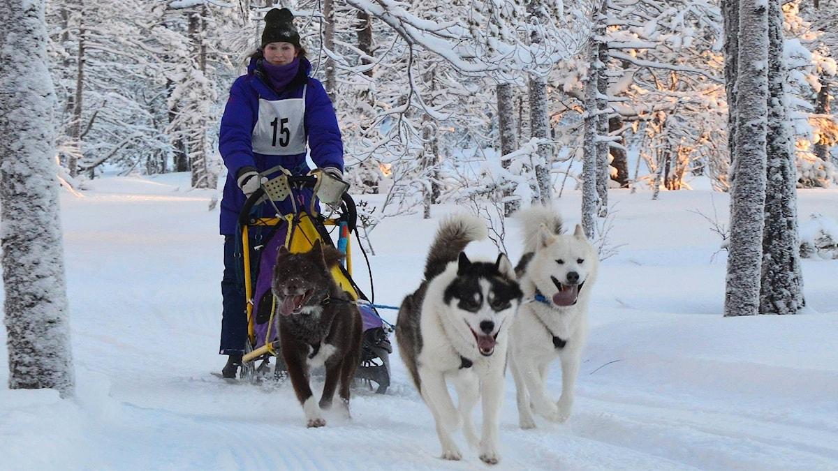 Ett hundspann på snö. Foto: Privat.