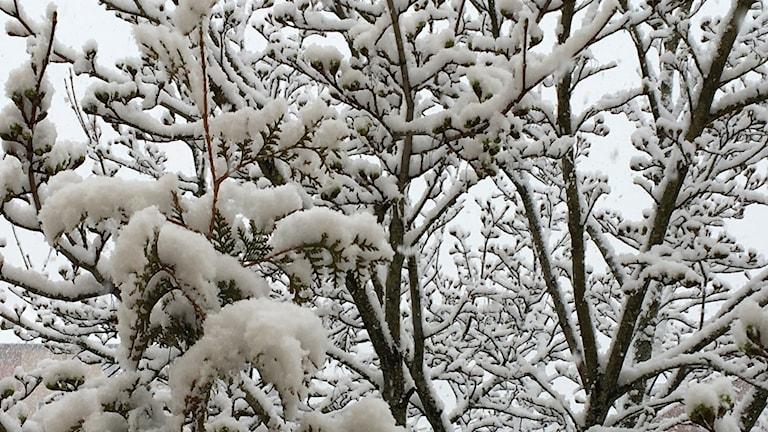 trädgrenar täcka av snö