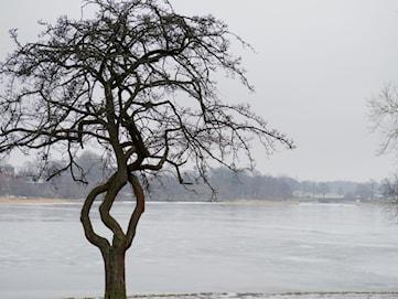 Knasiga träd i Värmland sökes