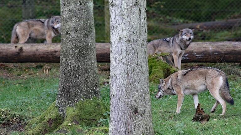Vargar i en djurpark. Foto: Lars-Gunnar Olsson/Sveriges Radio.