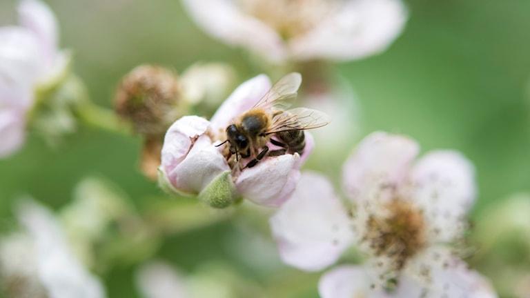 Ett bi på en blomma.. Foto: Henrik Montgomery/TT.