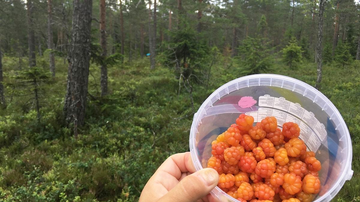 Burk fylld med nyplockade hjortron. Foto: Annika Ström/Sveriges Radio