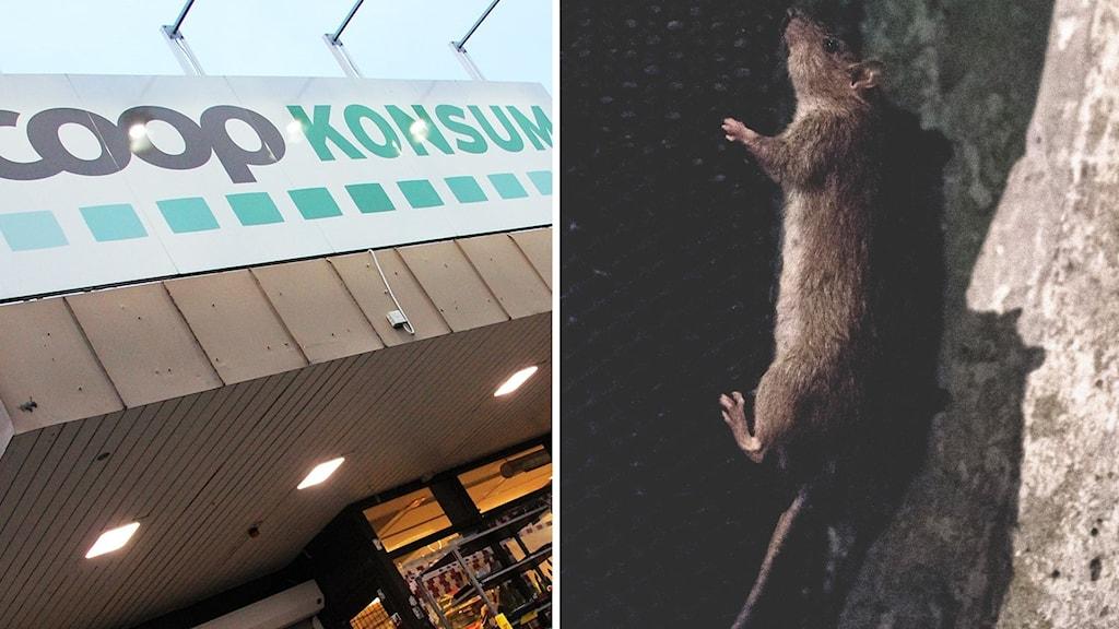 Montage: En fasad till ren coopbutik, en råtta. Foto: Lars-Gunnar Olsson/ Sveriges Radio/ Vilhelm Stokstad/TT