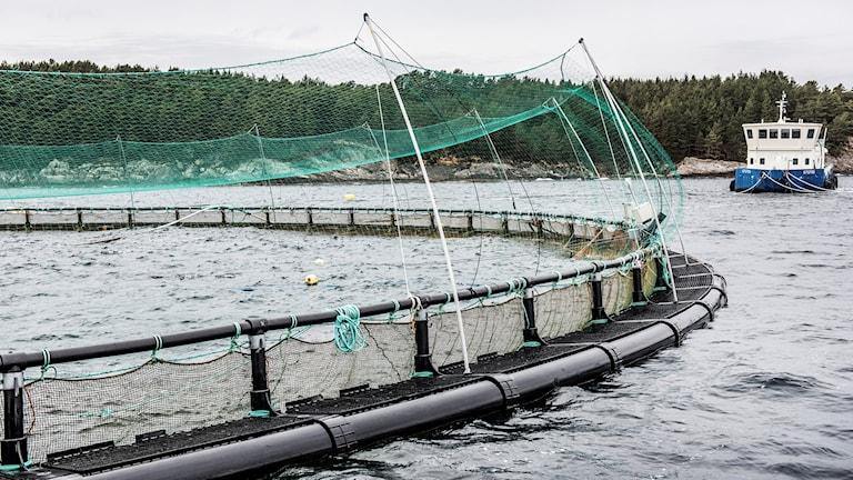 Odlingen av matfisk har ökat kraftigt i Värmland, och även i landet som helhet, under 2016. Bilden är dock från en odling i norska Haugesund. Foto: Tomas Oneborg/SvD/TT.