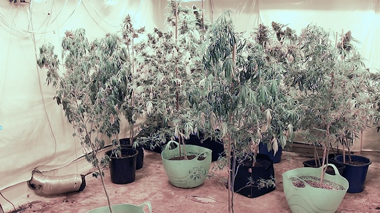 Cannabisodling. Foto: Tullverket.
