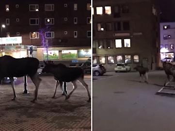 Älgar på vift i centrala Karlskoga – avlivades av jägare