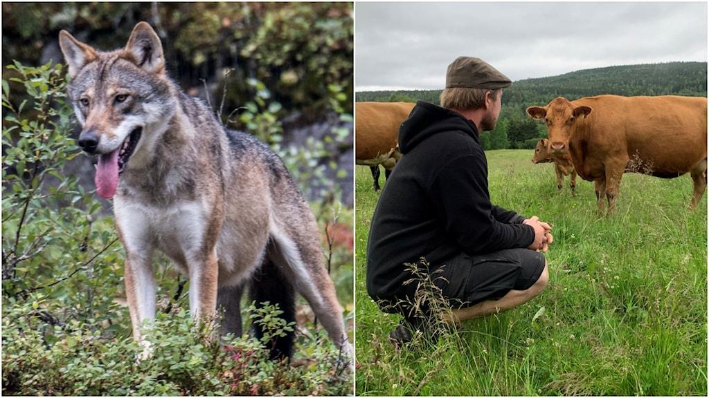 En varg och en man i en hage med kossor.