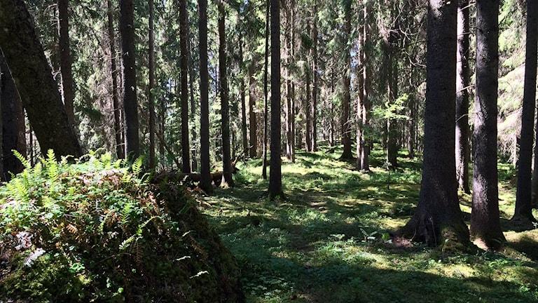 Träd, stenar och mossa i Rackstadskogen. Foto: Maria Bard/Sveriges Radio.
