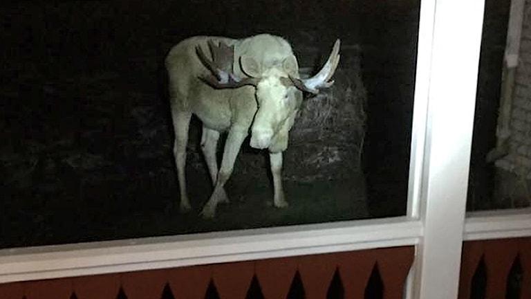 Älgen Ferdinand utanför en veranda. Foto: Carina.