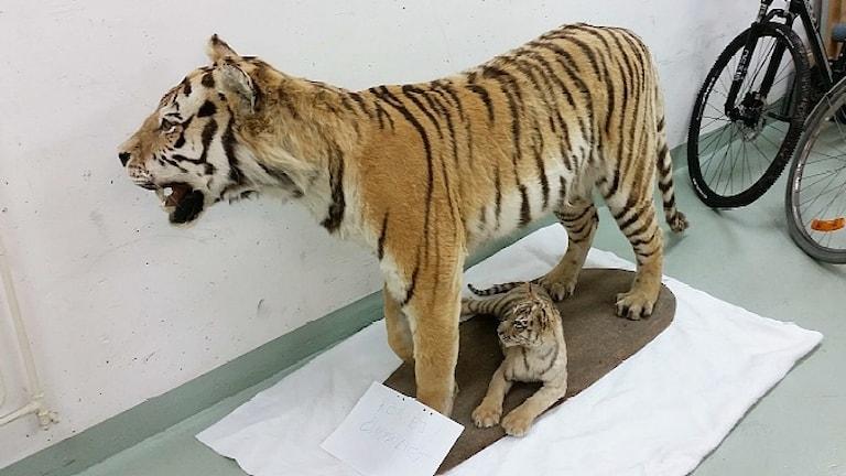Två uppstoppade tigrar som tagits i beslag. Foto: Polisen.