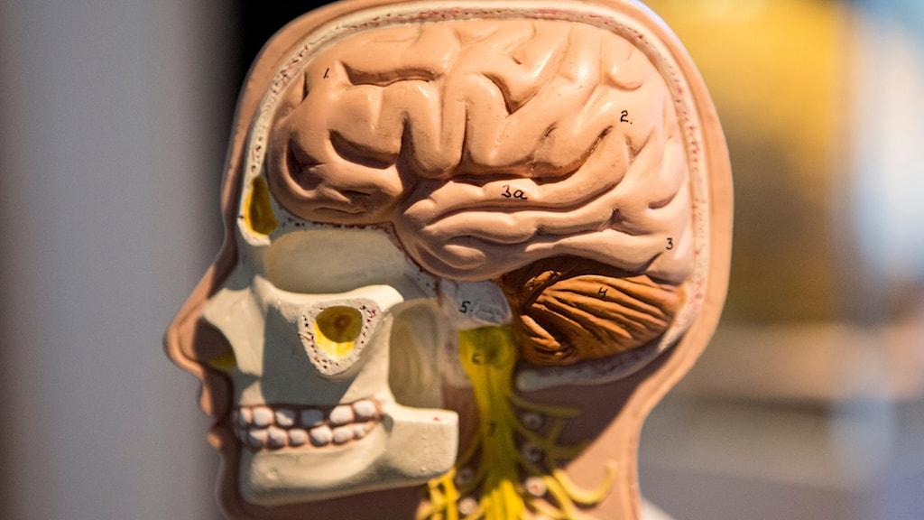 En modell av en hjärna. Foto: Christine Olsson/TT.