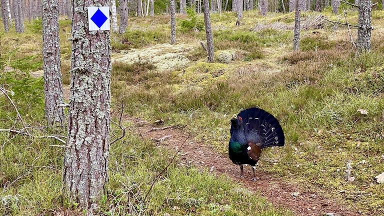 En tjäder står i ett motionsspår. Foto: Stefan Vänersand.
