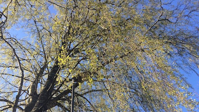 Björk västra kyrkogården. Foto: Micael Thernström.