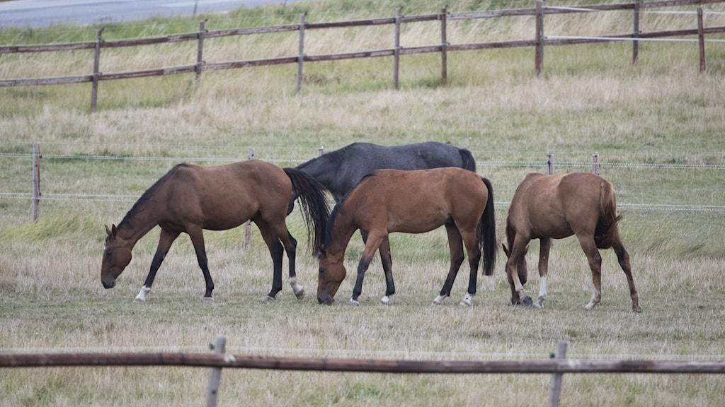 Hästar betar på en äng.