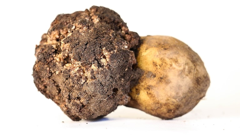 Potatiskräfta. Foto: Jordbruksverket