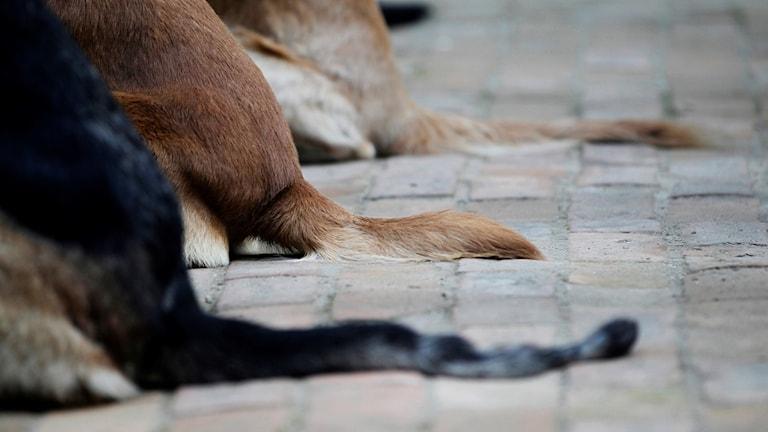 Tre hundar på rad. Foto: Niranjan Shrestha/TT
