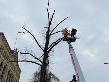120-årigt träd fälls vid Tingvallagymnasiet