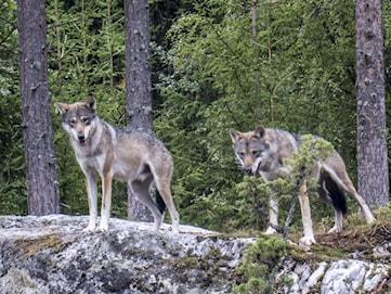 Två vargar får skjutas i Norrsjöreviret