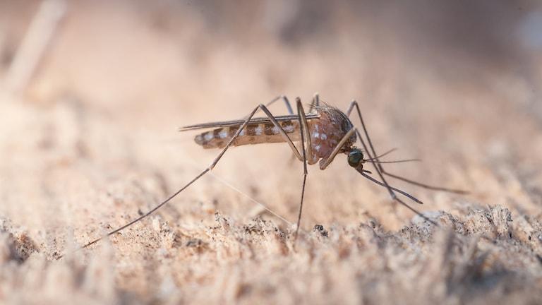 En bild på en mygga FOTO: Anders Lindström/SVA