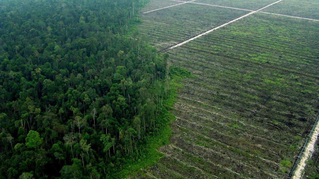 Ett fält i en regnskog där det planterats växter för att produvera palmolja. Foto; Chedar/Anderson/Greenpeace/TT.