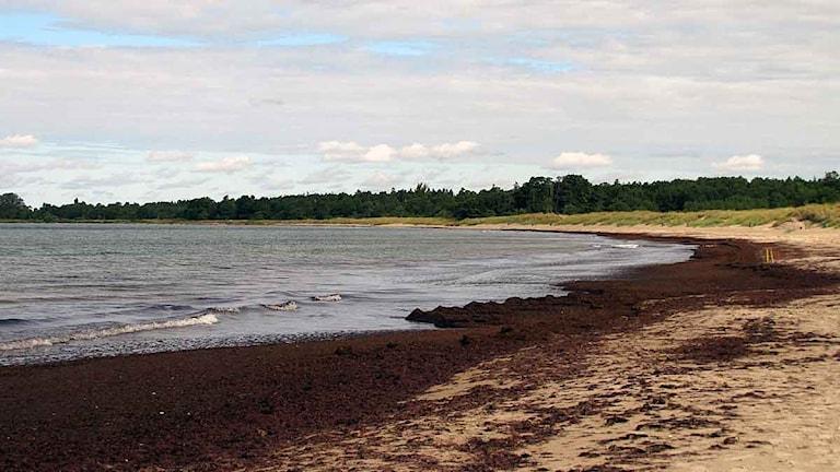 Tofta strand med släke. Foto: Eleonor Svensson/SR Gotland