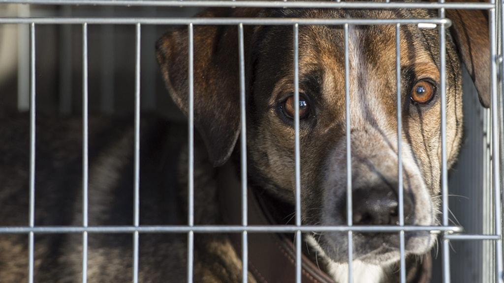 En hund i en  transportbur i bagageutrymmet på en bil.  Foto: Leif R Jansson / TT