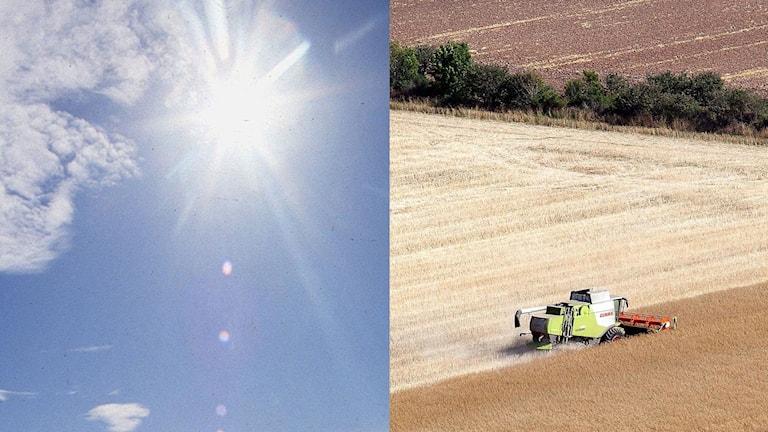 Torkan har varit förödande för lantbrukarna.