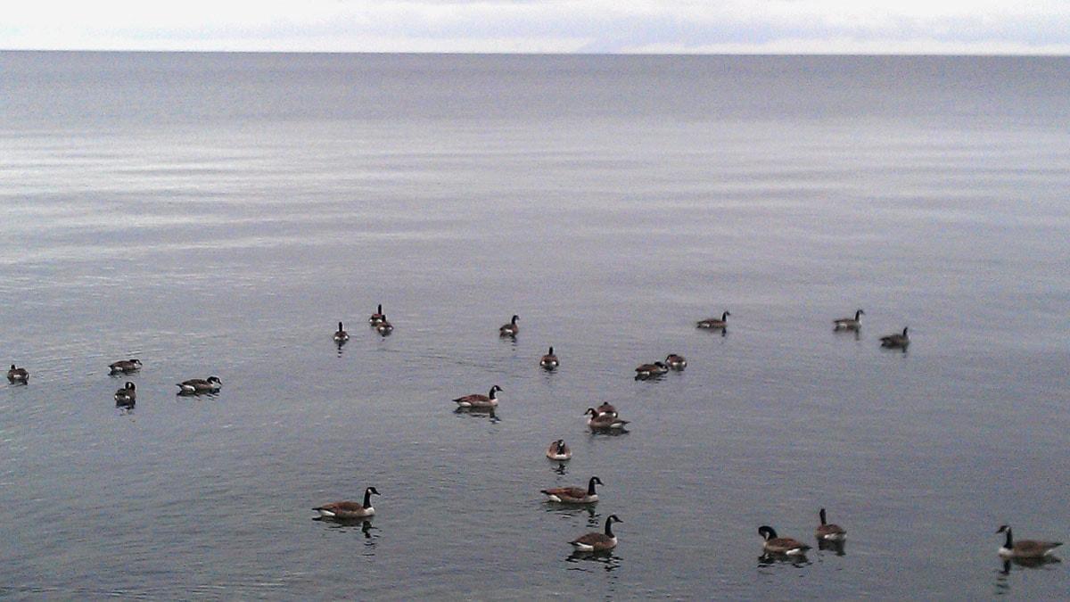 Fåglar på havet. Foto: Henrik Wallenius/SR Gotland