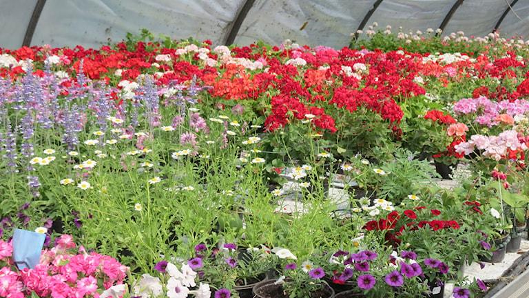 Blommor i växthus. Foto: Mari Winarve/P4 Gotland Sveriges Radio