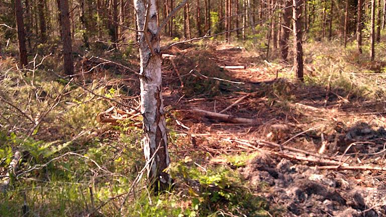 Avverkad skog. Foto: Gunnel Wallin / SR Gotland