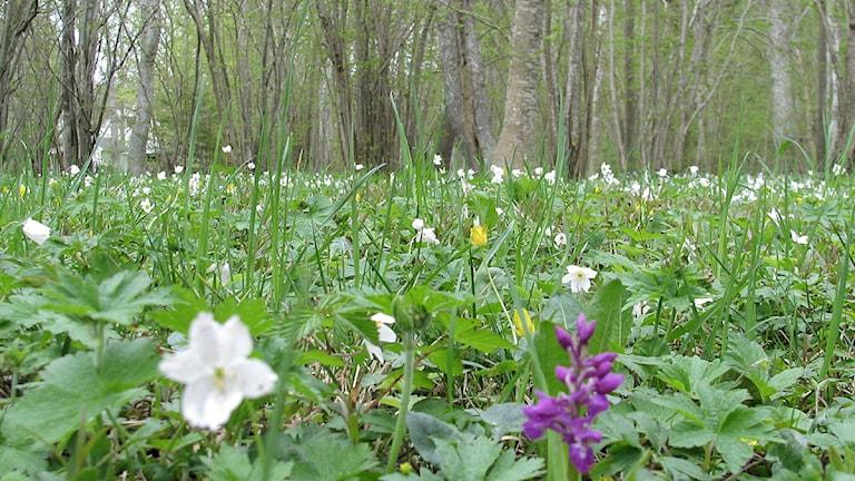 Vitsippor och orkidé i Eskelhems prästänge. Foto: Henrik Wallenius/P4 Gotland