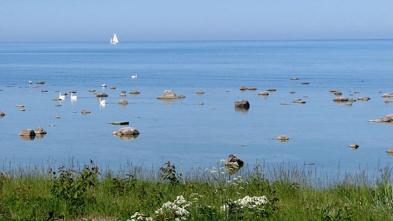 Segelbåt på stilla vatten med svanar. Foto: Henrik Wallenius/P4 Gotland