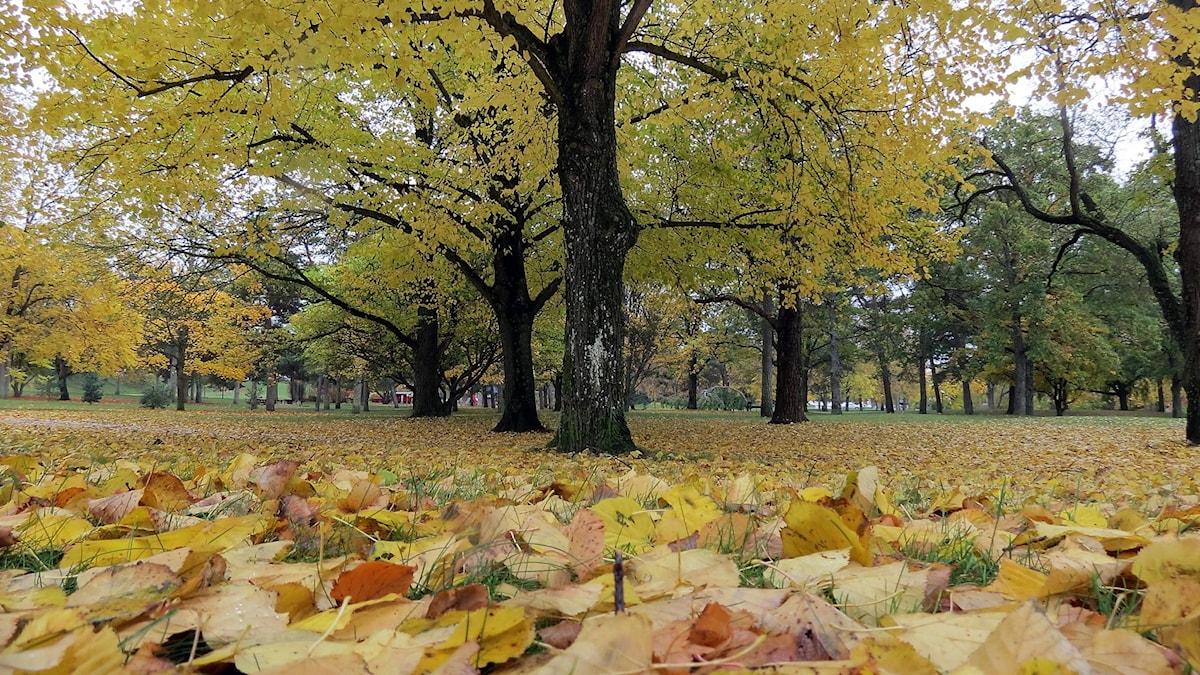 Höstlöv i parken Tallunden i Visby