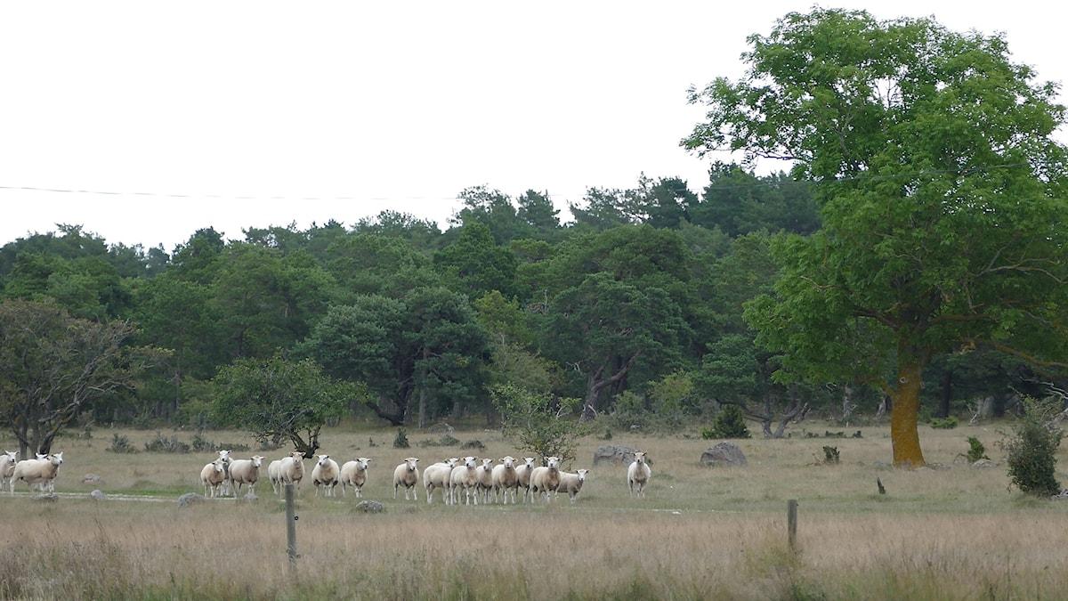 Lamm vid Brorakan