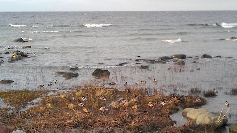 Änder vid gotländsk strand. Foto: Henrik Wallenius P4 Gotland Sveriges Radio